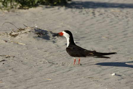 wildllife: Black skimmer, Rynchops niger, New York, USA Stock Photo