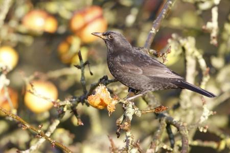 merula: Blackbird Turdus merula
