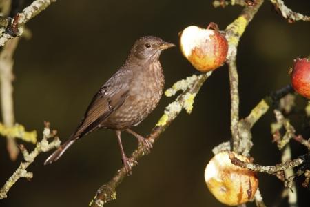 turdus: Blackbird Turdus merula, female on apples, Norfolk, Winter