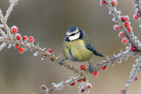 blue tit: Blue tit Parus caeruleus, On berries in frost, Midlands, winter