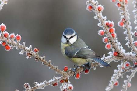 Blue tit Parus caeruleus photo