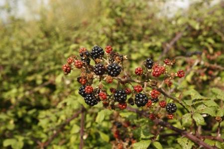 rubus: Bramble, Rubus fruticosus Stock Photo