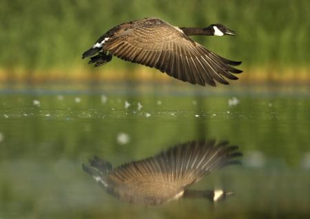branta: Canada goose, Branta canadensis in flight
