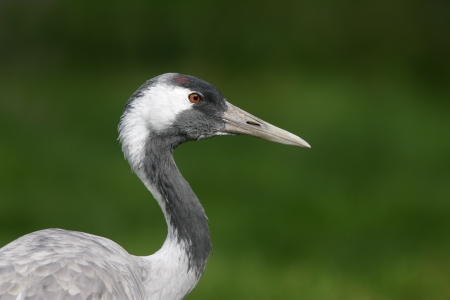 Common crane, Grus grus, head detail, captive                      photo