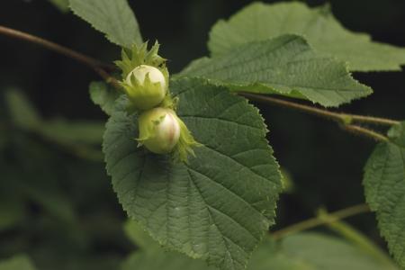 corylus: Common hazel, Corylus avellana, Two nuts and leaf growing on tree, July, Midlands