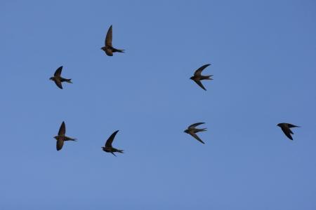 Swift, Apus apus, group in flight, Spain            Stockfoto