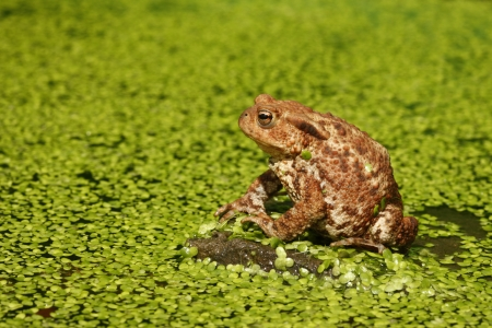 bufo toad: Common toad, Bufo bufo, Wiltshire, flowerpot Stock Photo