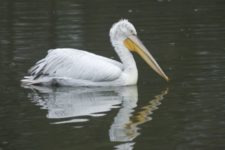 Dalmatian pelican, Pelecanus crispus, native to eastern Europe, winter photo