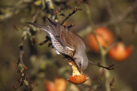 turdus: Fieldfare Turdus pilaris, on apples, Norfolk, winter