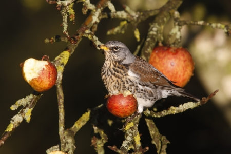 Fieldfare Turdus pilaris, on apples, Norfolk, winter          photo