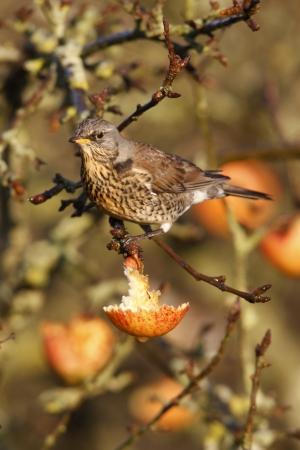 pilaris: Fieldfare Turdus pilaris, on apples, Norfolk, winter