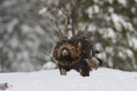 chrysaetos: Golden eagle, Aquila chrysaetos single bird in deep snow, Finland