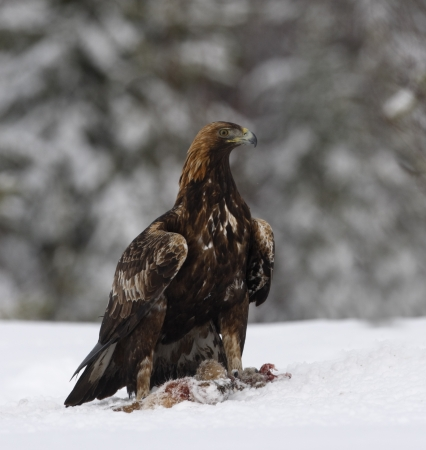 chrysaetos: �guila real, Aquila chrysaetos solo p�jaro en la nieve profunda, Finlandia
