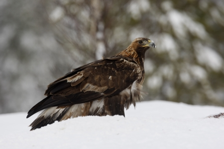 Golden eagle, Aquila chrysaetos single bird in deep snow, Finland photo