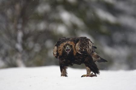 golden eagle: Steinadler, Aquila chrysaetos einzigen Vogel im Tiefschnee, Finnland