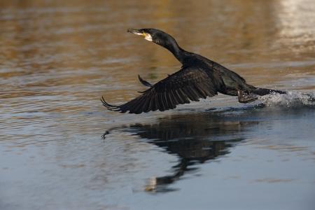 carbo: Cormorant, Phalacrocorax carbo, single bird in flight