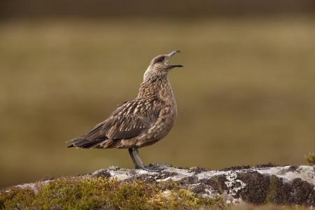 stercorarius: Great skua, Stercorarius skua,single bird on moorland