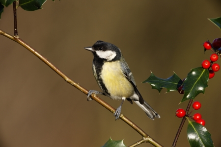 parus major: Great tit, Parus major, On holly, Midlands, winter                    Stock Photo