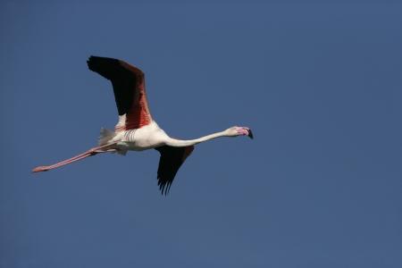 phoenicopterus: Greater Flamingo, Phoenicopterus ruber, in volo Francia