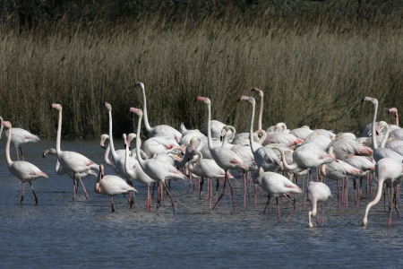 greater: Greater flamingo, Phoenicopterus ruber, France