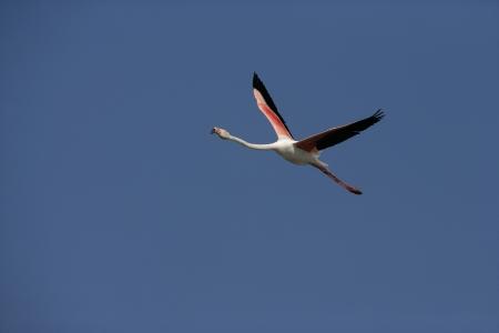 phoenicopterus: Maggior fenicottero, Phoenicopterus ruber, in volo Francia