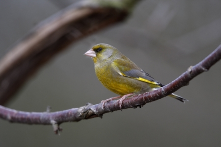 greenfinch: Greenfinch, Carduelis chloris, Male, West Midlands, UK, winter