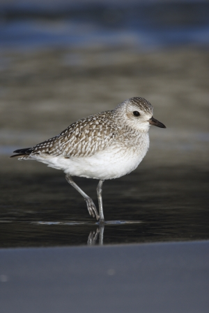 Grey plover, Pluvialis squatarola by water,  USA   Stock Photo