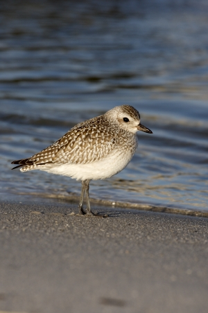pluvialis: Grey plover, Pluvialis squatarola by water,  USA   Stock Photo