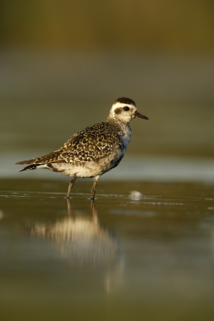 pluvialis: Grey plover, Pluvialis squatarola, New York, USA, summer
