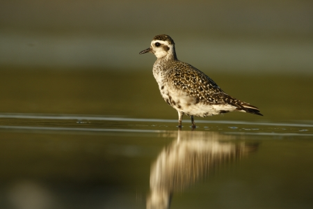 Grey plover, Pluvialis squatarola, New York, USA, summer