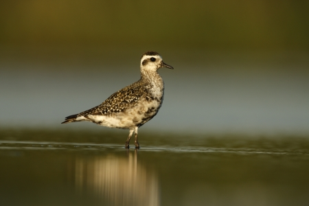 pluvialis: Grey plover, Pluvialis squatarola, single bird standing in water, New York, USA, summer           Stock Photo
