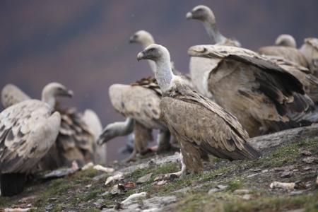 gyps: Eurasian griffon vulture, Gyps fulvus, group of birds standing on rock, Spain, winter Stock Photo