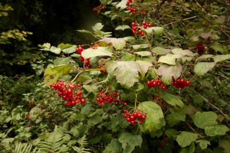 guelder rose berry: Guelder rose, Viburnum opulus, berries, Midlands, UK Stock Photo