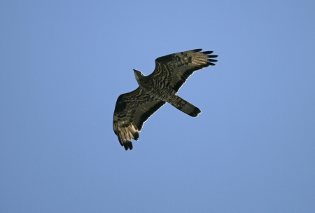Honey buzzard, Pernis apivorus, flight, spring, Spain Stock Photo - 22762208