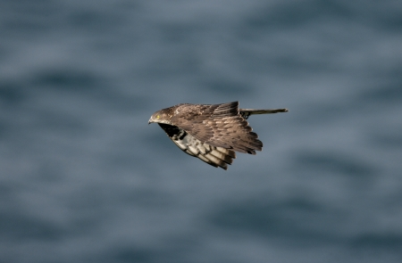 buzzard: Honey buzzard, Pernis apivorus, flight, spring, Spain