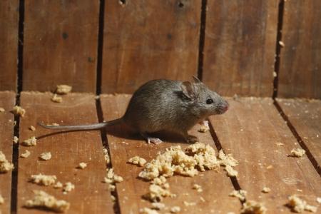 rat�n: Casa del rat�n, Mus musculus, Midlands, Reino Unido