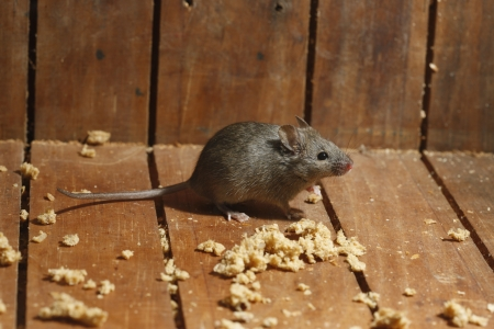 House mouse, Mus musculus, Midlands, UK Stockfoto