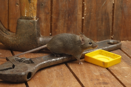 musculus: House mouse, Mus musculus, Midlands, UK            Stock Photo