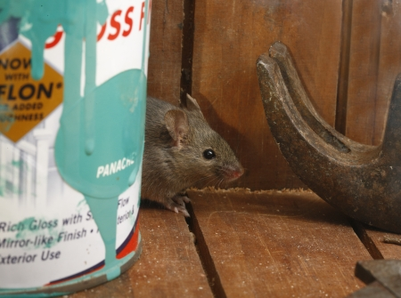 House mouse, Mus musculus, Midlands, UK            Stock Photo