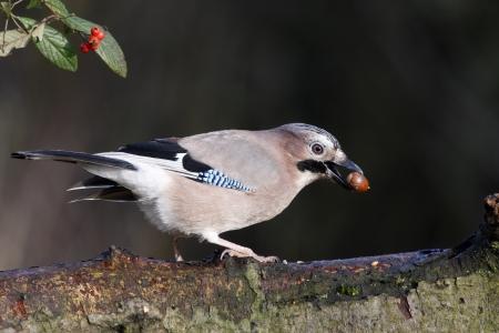Jay, Garrulus glandarius, on branch with acorn, Midlands, winter