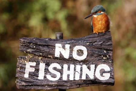 alcedo: Kingfisher, Alcedo atthis, on no fishing sign, Midlands, Autumn