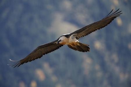 Lammergeier or lammergeyer or bearded vulture,  Gypaetus barbatus, juvenile in flight, Spain, winter              photo