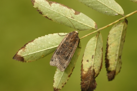 underwing: Large-yellow underwing moth, Noctua pronuba, Midlands, UK