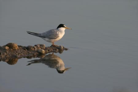 Little tern, Sterna albifrons, single bird by water, Spain