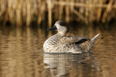 Marbled teal, Marmaronetta angustirostris, bird on water, Native to Spain