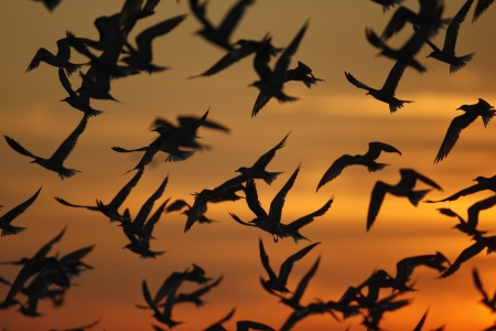 Arctic, common and least terns in a mixed group in flight against the sunset. New York, USA photo