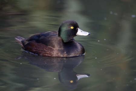 scaup: New Zealand scaup, Aythya novaeseelandiae, male on water, Native to New Zealand