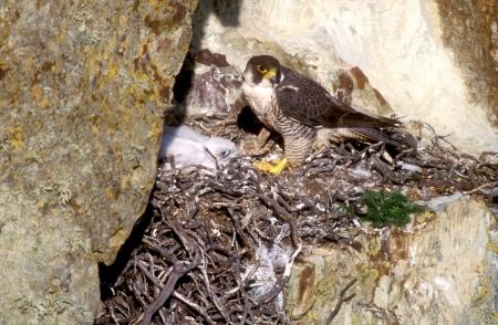 falco peregrinus: Peregrine, Falco peregrinus, nest, UK