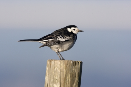 motacilla: Pied wagtail, Motacilla alba yarrellii, on post, Gloucestershire, winter
