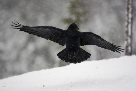 corax: Raven, Corvus corax, flight, Finland, winter Stock Photo